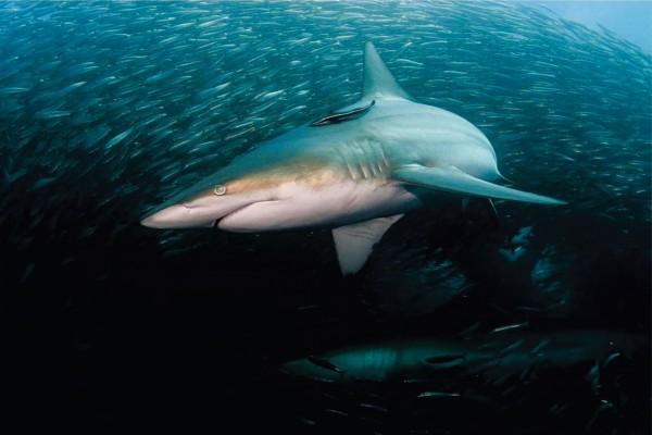 Banco de peces entre grandes tiburones