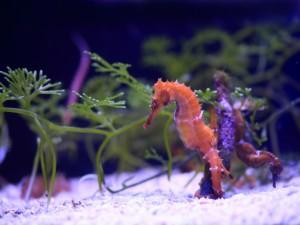 Postal: Dos caballitos de mar en un acuario