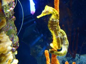 Caballitos de mar enroscados en una planta