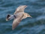 Juvenil gaviota argéntea europea ( Larus michahellis ) en vuelo rápido