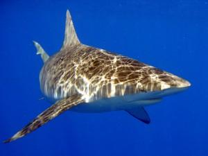 Postal: Tiburón de Galápagos (Carcharhinus galapagensis)