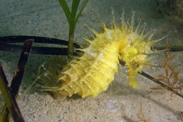 Un caballito de mar amarillo sobre la arena