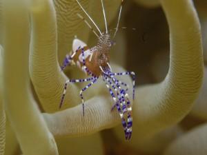 Camarón con patas de colores