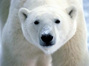 Oso polar con nieve en el hocico