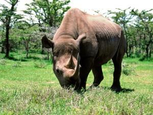 Postal: Un rinoceronte negro sobre la hierba