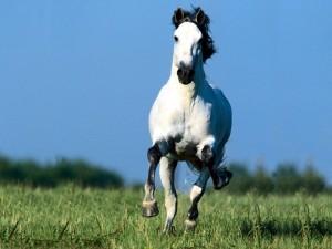 Postal: Un veloz caballo blanco