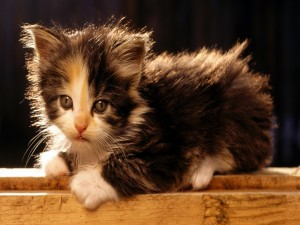 Postal: Un gatito negro y blanco