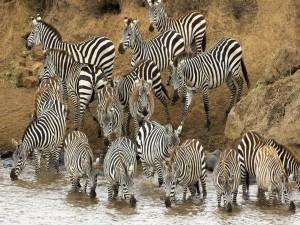 Postal: Cebras bebiendo agua del río