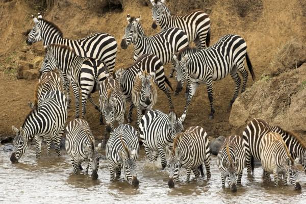 Cebras bebiendo agua del río