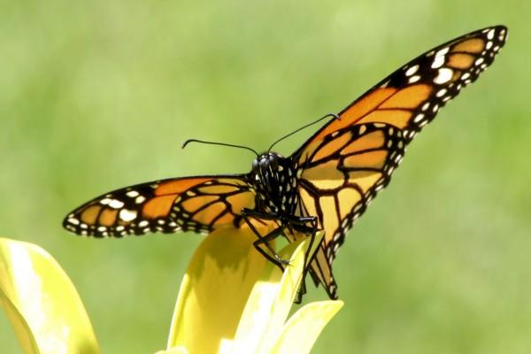 Mariposa monarca sobre el pétalo de una flor amarilla