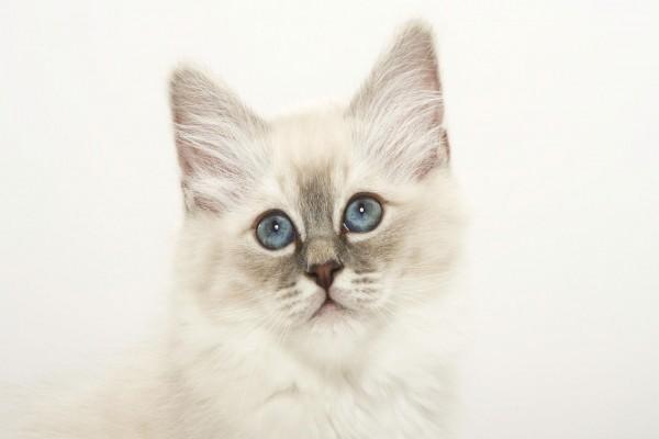 Un bonito gato blanco con ojos azules