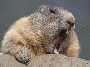 Un castor con la boca abierta