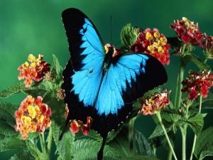 Una mariposa azul y negra sobre las flores