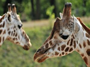 Postal: Las caras de dos jirafas
