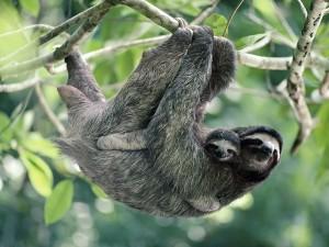 Postal: Perezoso de tres dedos en un árbol con su cría