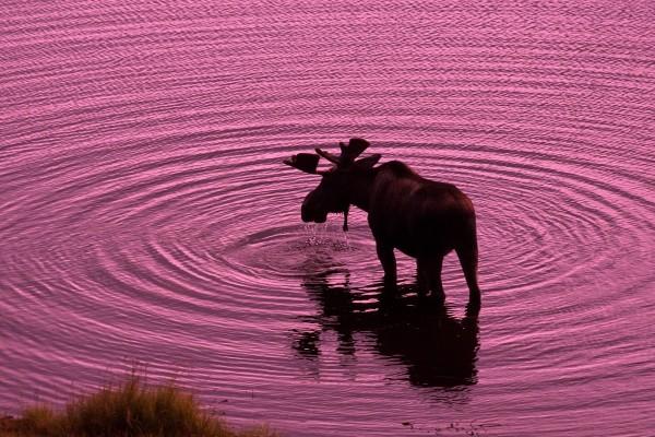 Un alce macho bebiendo agua