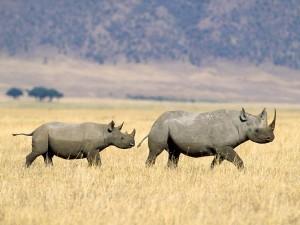 Dos rinocerontes negros caminando por la sabana