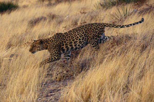 Un leopardo caminando con sigilo