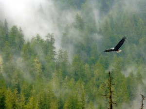 Postal: Águila volando sobre el bosque