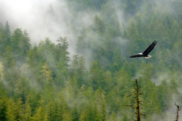 Águila volando sobre el bosque