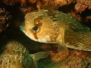Dos peces globo en el fondo marino