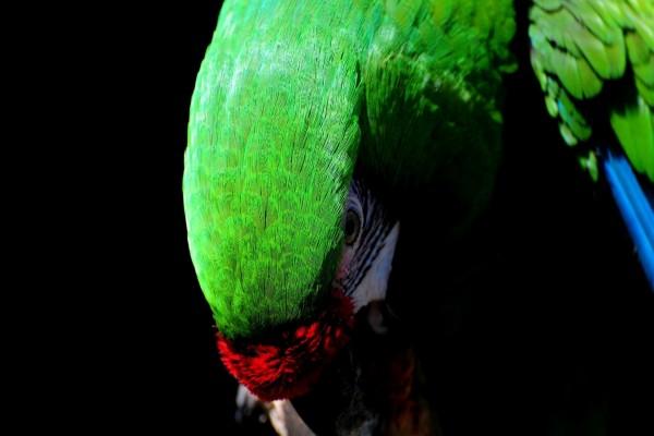 Loro de plumas verdes