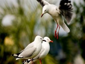 Postal: Una gaviota aterrizando junto a sus compañeras