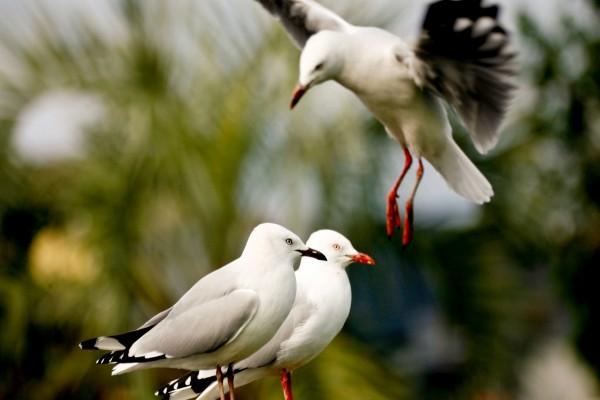 Una gaviota aterrizando junto a sus compañeras