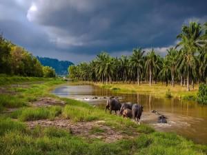Búfalos cruzando un río en el sudeste asiático