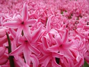Flores de jacinto rosadas
