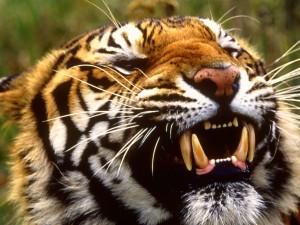 Postal: Gruesos colmillos de un tigre de Bengala