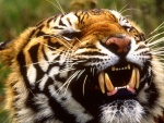 Gruesos colmillos de un tigre de Bengala
