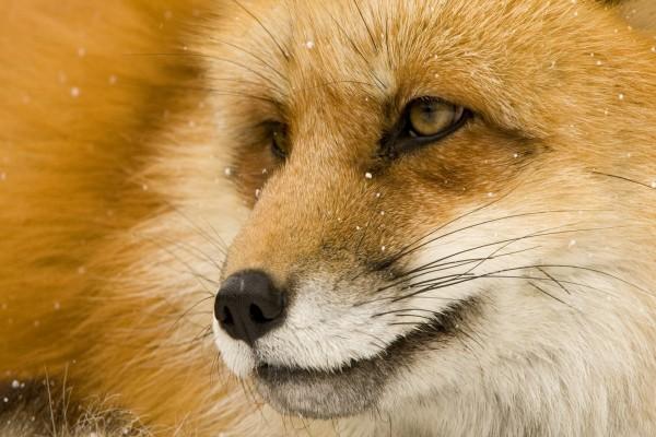 Pequeños copos de nieve sobre la cara del zorro