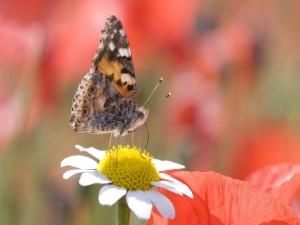 Mariposa posada en el centro de una margarita