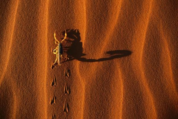 Un escorpión caminando por la arena