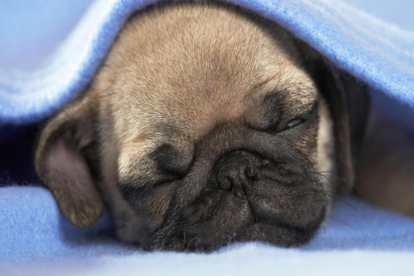 Un perro dormido bajo la manta