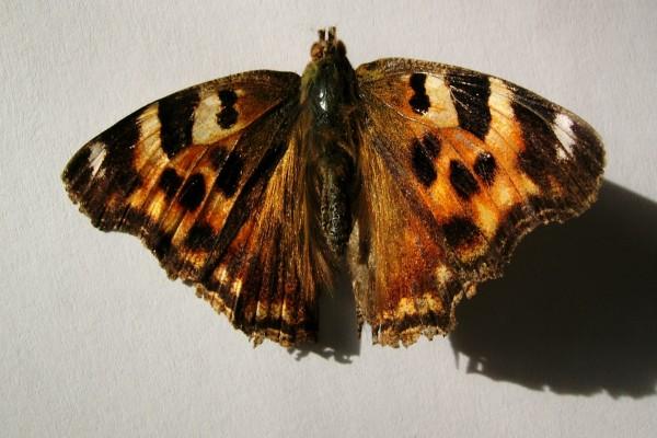 Mariposa disecada