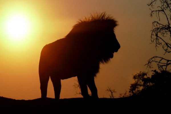 Un león visto al atardecer