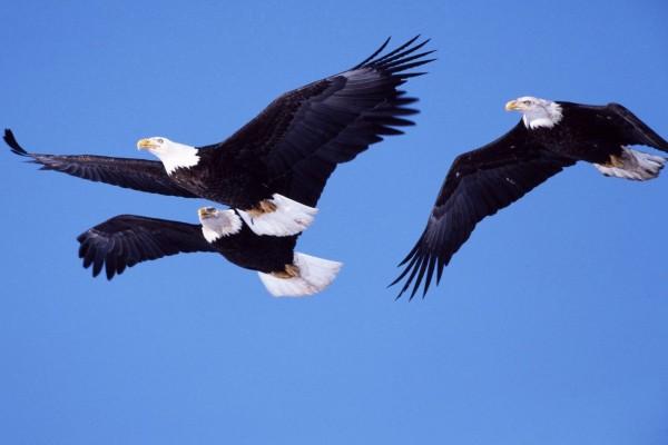 Tras águilas volando