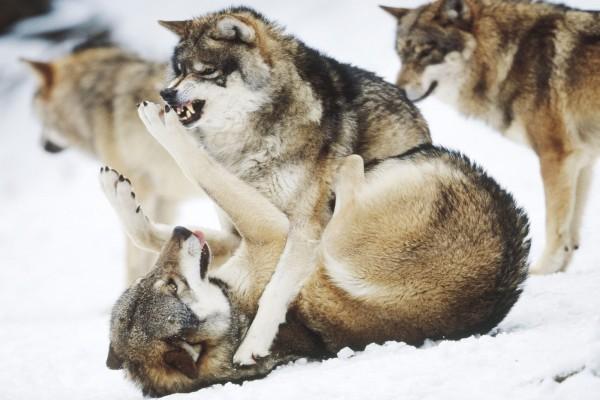 Pelea de lobos sobre la nieve