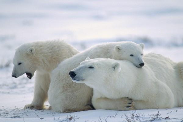 Osos polares relajados sobre la nieve