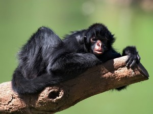 Mono araña tumbado en un tronco