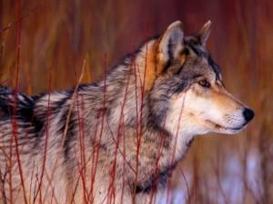 Un bonito lobo gris