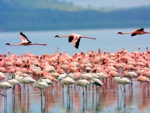 Flamencos en el lago Nakuru (Kenia)