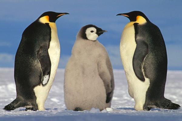 Un joven pingüino emperador entre dos adultos