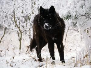 Postal: Un lobo negro con nieve en el hocico