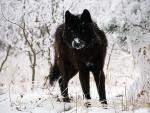 Un lobo negro con nieve en el hocico