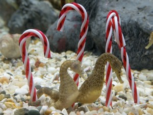 Bastones de caramelo en un acuario con caballitos de mar