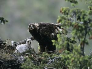 Águila dando comida a su polluelo