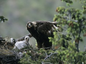 Postal: Águila dando comida a su polluelo
